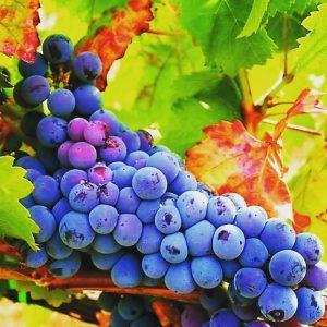 Uva Uruguaia para Vinho