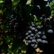 O Sertão Brasileiro também produz Vinho!?
