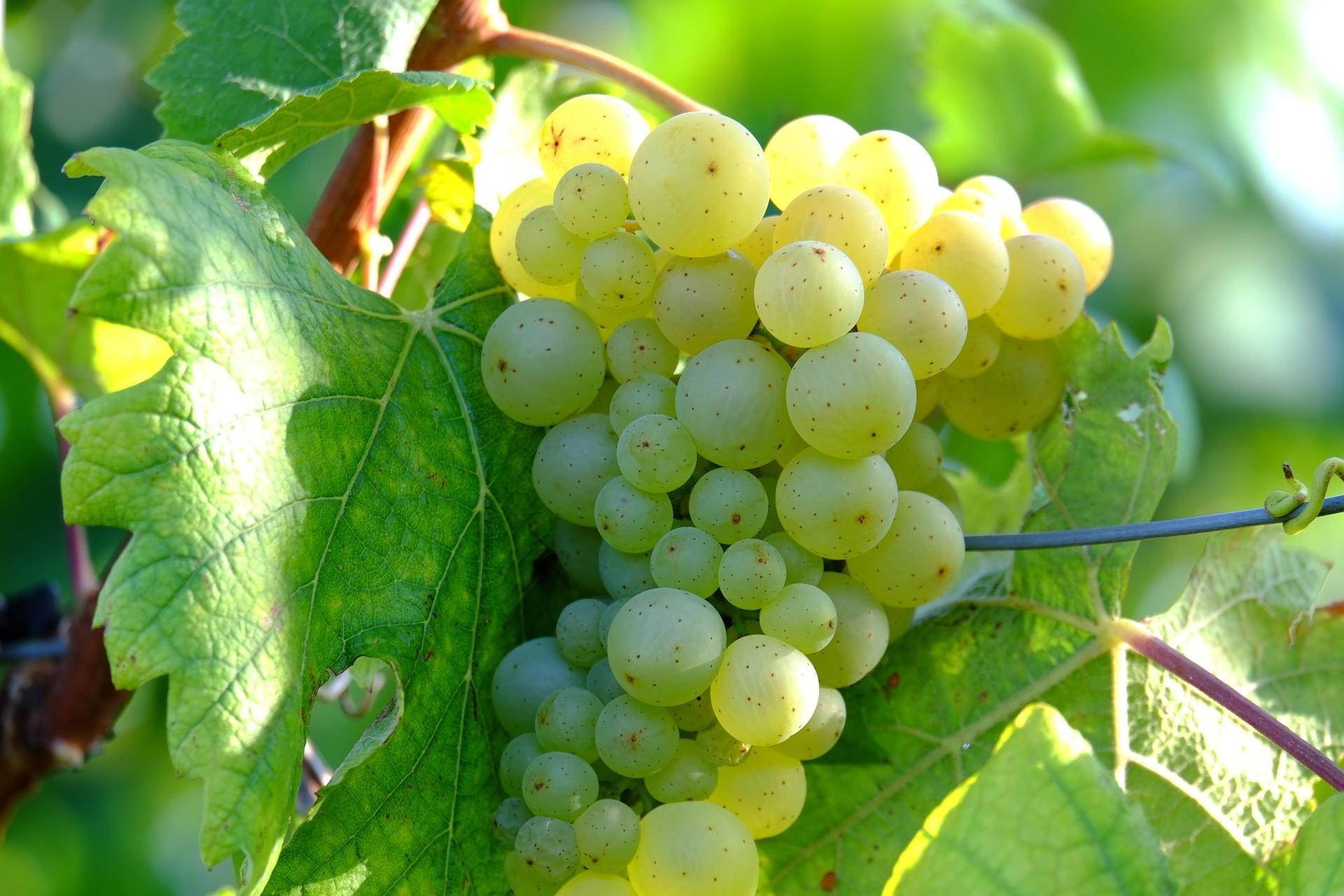 uva bianca per fare il vino