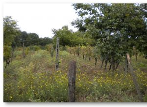 produzione del vino - vigna bosco