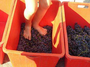 Pigiatura dell'uva per fare il Vino Amarone