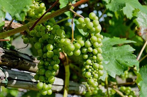 uvas para vinho prosecco