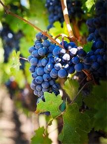 vitigno-cabernet-sauvignon