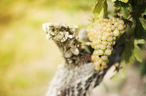 Uva da Vino Frizzante