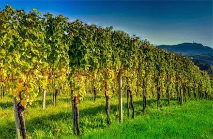 Vigne di Vino Primitivo