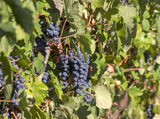 Bonarda - vitigno