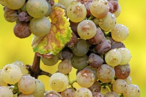 Grapes attacked by the nobel rot, Botrytis Cinerea